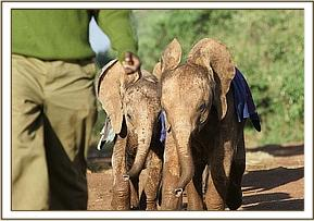 The nursery orphans following their keepers
