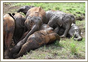 A pile of elephants in the mudbath