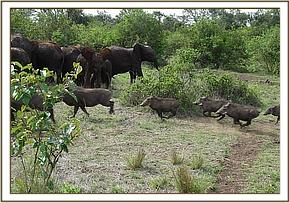 The orphans chase the warthogs