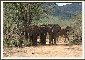 Wild elephants relaxing near the mudwallow