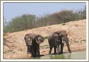 Three wild elephants at the mudbath
