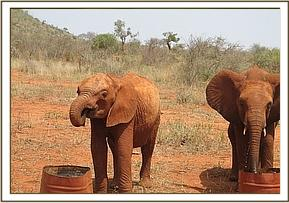 Kivuko, on the left, having a drink of water