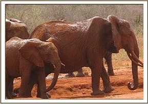 Wild eles at the mudbath