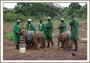 Lesanju, Lempaute and Shimba having their milk