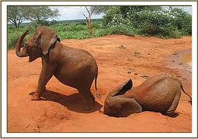 Kenia left & Mzima enjoy a dustbath