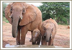 Mpenzi and  her two calves having a drink