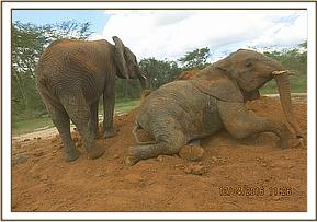 Murera trying to get up from dust bath