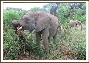 Quanza scratching her itchy trunk