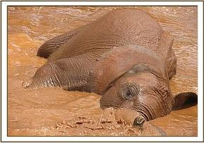 Kenia enjoys a mudbath