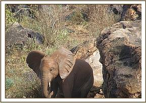 Araba scratching on the rocks at Msinga Hill