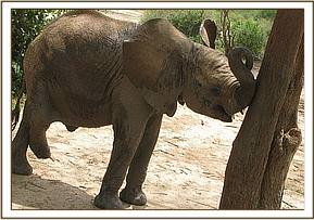 Melia scratching her trunk