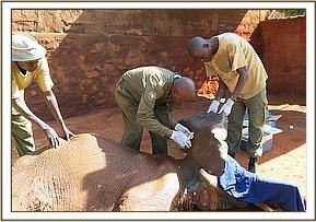 Shimba receives treatment from the vet