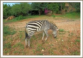 Lualeni the zebra browsing at the stockade