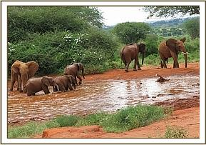 Wild eles join the orphans at the waterhole