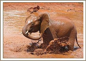 Mzima splashing around in the mudbath