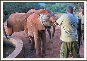 Shimba having milk while receiving treatment