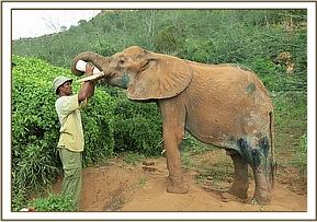 Shimba having milk after treatment