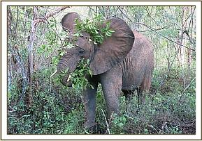 Murera covering her head with branches