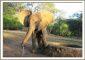 Murera at the water trough