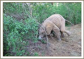 Murera digging up mud with her tusks