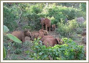 Wild cow & calf join the orphans