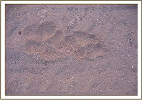 Cat footprints at the stockades
