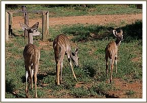 The three Kudus