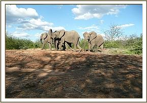 Naserian's group with a junior wild elephant