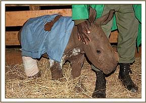 The baby rhino with its splintered leg