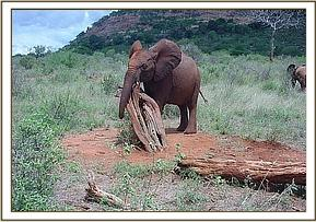 Mweya rubbing against a buried tree branch