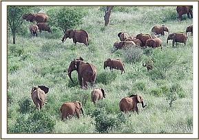 The orphans browsing together with wild elephants