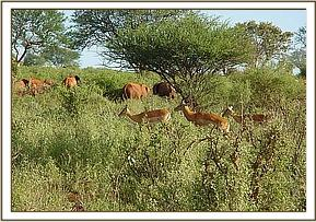 The orphans feeding among a herd of Impala