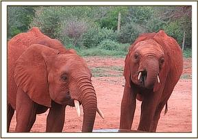 Taveta and Layoni having a drink of water