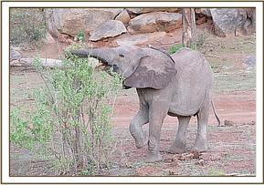 Lemoyian feeding