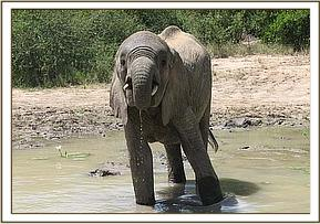 Mulika having a drink of water at the mudwallow
