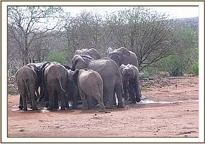 Orphans with wild elephants at the water trough
