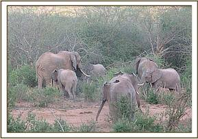 Yatta's group leaving with wild elephants