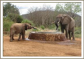 Sabachi sniffs at a wild elephant