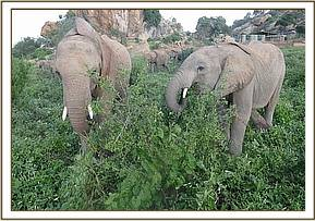 Kithaka and Wanjala browsing together