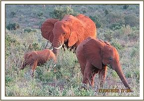 Mpenzi and her two calves