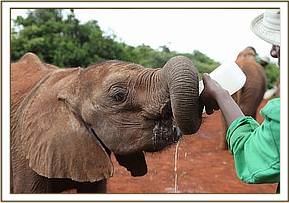 Kanjoro having his milk