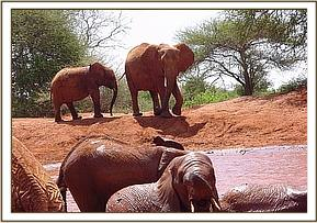 Orphans joined by wild cow & her calf at mudbath