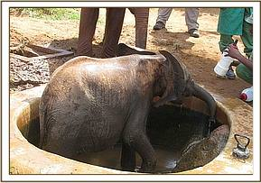 Kimana in the water trough