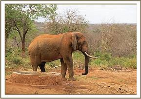 Tailless elephant at the stockades for a drink