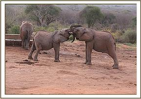Lemoyian plays with Narok