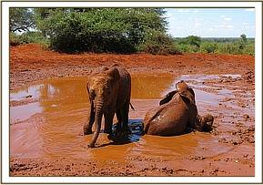 Kenia and Rombo wallowing