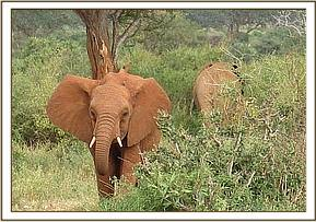 Tassia walks with wild elephant