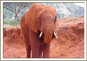 Nyiro wipes her tusks after dustbathing