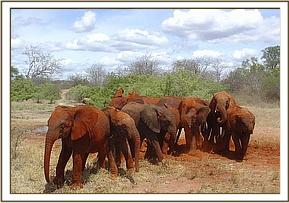 The orphans leave the soil bath to go and browse