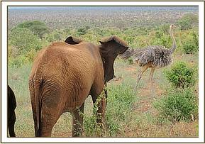 Lesanju not happy about the ostrich